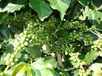 greencoffeebeanpeswgcb